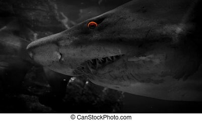 Shark Swims Past With Fiery Eyes - Large shark swimming in...