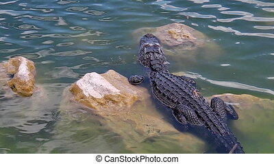 Shark Valley Alligator - top view of an Alligator in the...