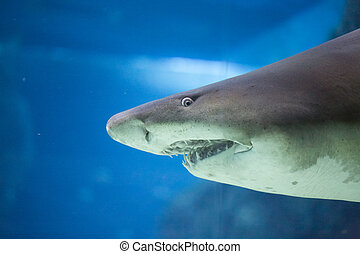 shark wish