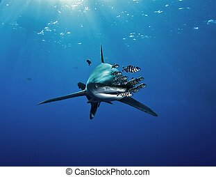shark with pilot fishes - oceanic white tip shark (...