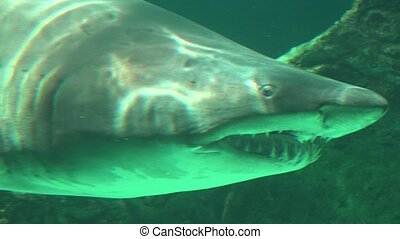 Shark With Sharp Teeth Swimming