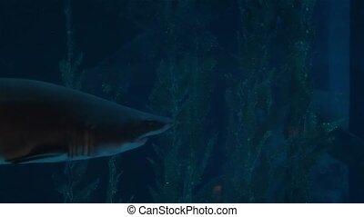 Sharks swim in a large aquarium, predators and small fish.