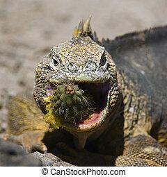 Sharp meal./ The Marine Iguana (Amblyrhynchus cristatus) is...