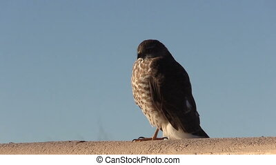 Sharp Shinned hawk - a sharp shinned hawk perched on a fence
