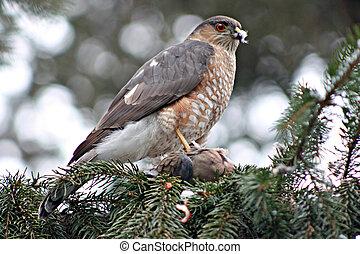 sharp shinned hawk perched on a pine tree
