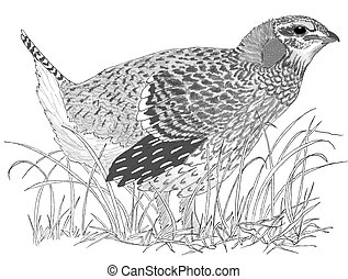 Sharp-tailed Grouse Tympanuchus phasianellus Pencil drawing