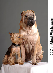 Sharpay and Yorkshire Terrier in the studio