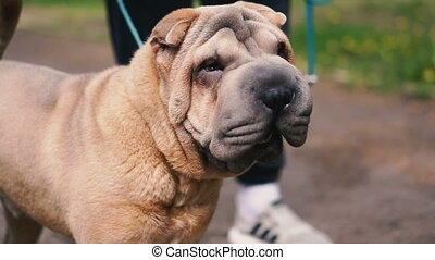 Sharpei dog breed. Slow motion video.