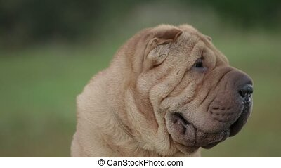 sharpei dog in park - Shar Pei dog in a park close-up