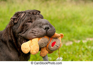 Sharpei dog is playing with teddy bear in the park