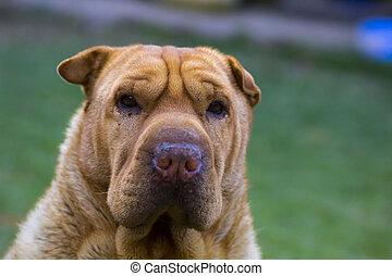 Sharpei dog starring
