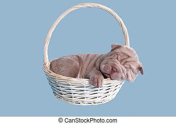 sharpei, junger hund, eingeschlafen, in, a, korb