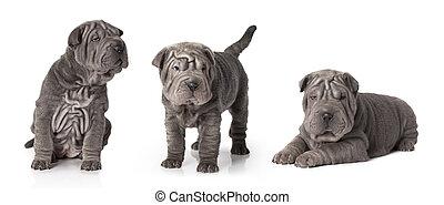 sharpei, junger hund, freigestellt, weiß