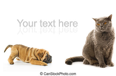 Sharpei puppy and british cat isolated on white background