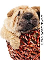 sharpei puppy in basket