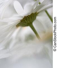 Shasta Daisies - Shasta daisies shot through a bloom of ...