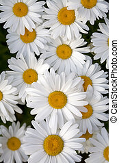 Shasta Daisies - Two Shasta daisies on a green background.