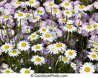 Shasta Daisies with Malvia behind - Shasta Daisies with Musk...
