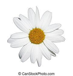 Shasta daisy flower - Flower of shasta daisy isolated on ...