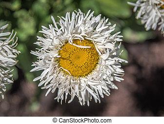 Shasta Daisy flowers. Leucanthemum x superbum Real Glory.