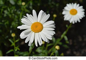 Shasta daisy Gigant - Latin name - Leucanthemum maximum ...
