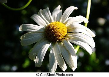 Shasta Daisy - Shasta daisy in the sunshine