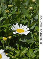 Shasta daisy Snow Lady - Latin name - Leucanthemum x ...