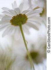 Shasta Daisy - Underside view of some Shasta daisies shot up...