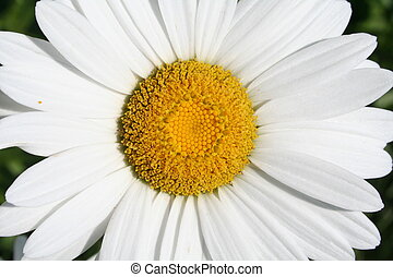 Shasta sunshine - Shasta Daisy Macro