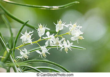 Shatavari (Asparagus racemosus Willd.) Flowers , Herbal...