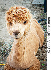 Shaved Alpaca resting in the farm