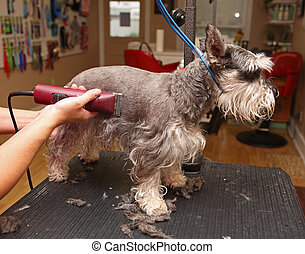 Shaving a dog - Groomer using clippers on a dog