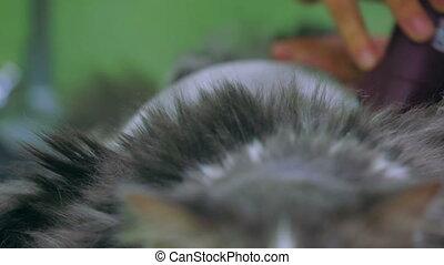 Shaving an animal - Veterinarian shaving an animal. Close-up