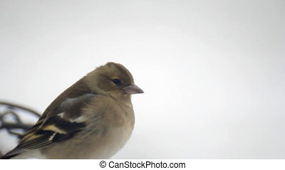 Shchur bird on white snow - Shchur bird search feed in snow...
