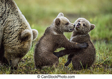 She-bear and playfull bear cubs. Bear Cubs stands on its hind legs. Cubs and Adult female of Brown Bear  in the forest at summer time at sunset. Scientific name: Ursus arctos.