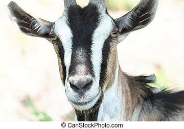 She-goat - Closeup of she-goat\'s muzzle