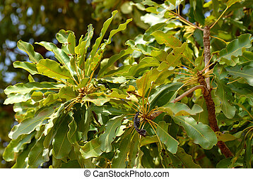 shea butter - leaves of the karit? tree