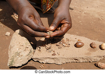 shea butter nut - The shea nut is opened to make shea butter...