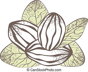 Shea Nut Illustration - Shea Nut Over White Background