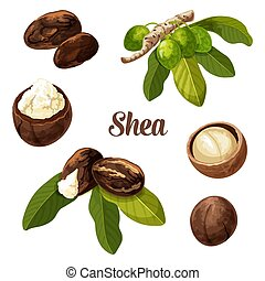 Shea nuts, vector realistic illustration. Shea butter tree ...