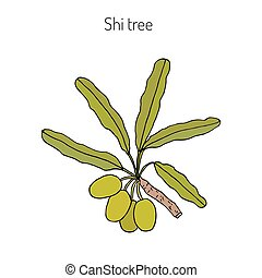 Shea tree branch - Shea tree, shi tree, or vitellaria ...
