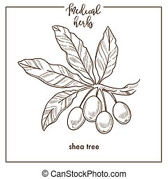 Shea tree seeds medical herb sketch botanical vector icon ...