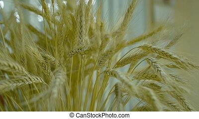 sheaf of Golden ripe ears of wheat.