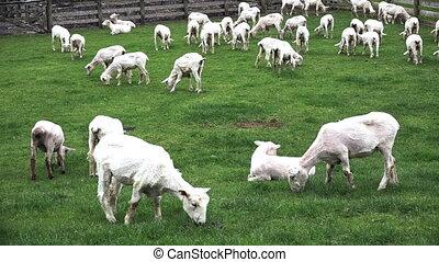 Sheared sheep grazing in a paddock
