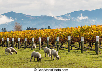 sheared sheep grazing in autumn vineyard with mountains in background