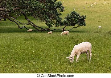 sheared sheep grazing