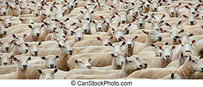 Sheared sheep - Panoramic of a flock of sheared sheep ...