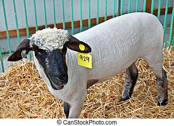 Sheared White Sheep in Pen