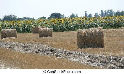sheaves of hay in a field