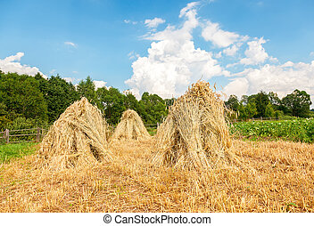 Sheaves of wheat piled in stacks on the field on a sunny day. Rural summer landscape
